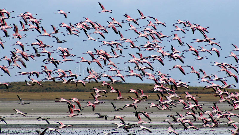 Flying Flamingos. Above the salt lake royalty free stock photography