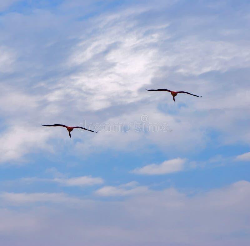 Flying flamingos royalty free stock images