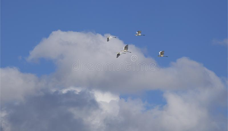 Flying flock of birds. stock photography