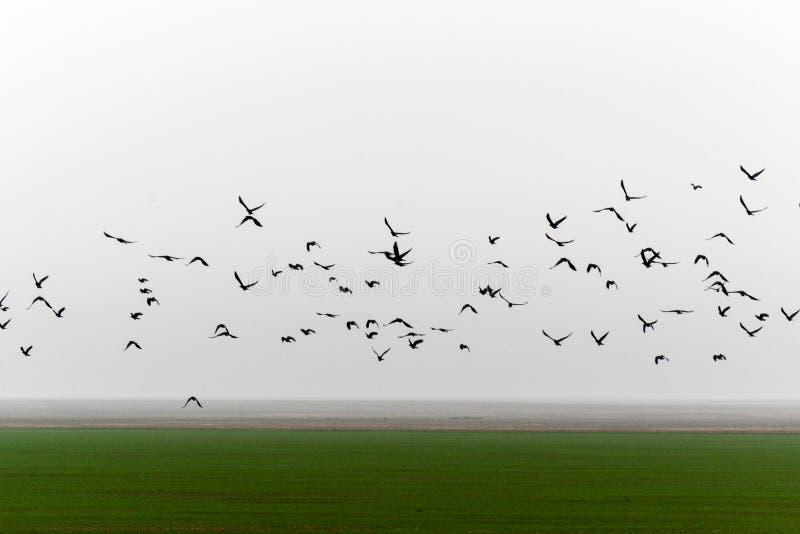 Flying flock of birds. Flying over farmland misty autumn morning a flock of birds royalty free stock photography