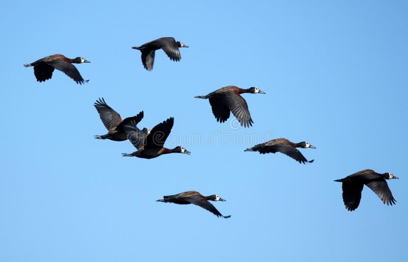 Flying Flock of Ducks stock photo. Image of beauty ...  Flock