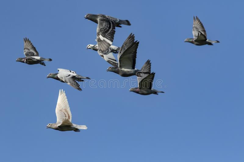 Flying flock of speed racing pigeon bird against clear blue sky stock photos
