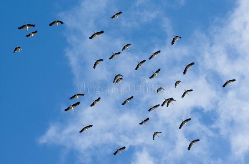 Flying flock of storks in the blue sky stock photography