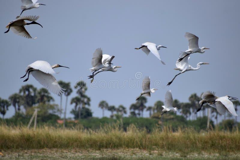 Those flying flyers. Flying flyers birds wildlife nature wallpaper village egret white royalty free stock photos