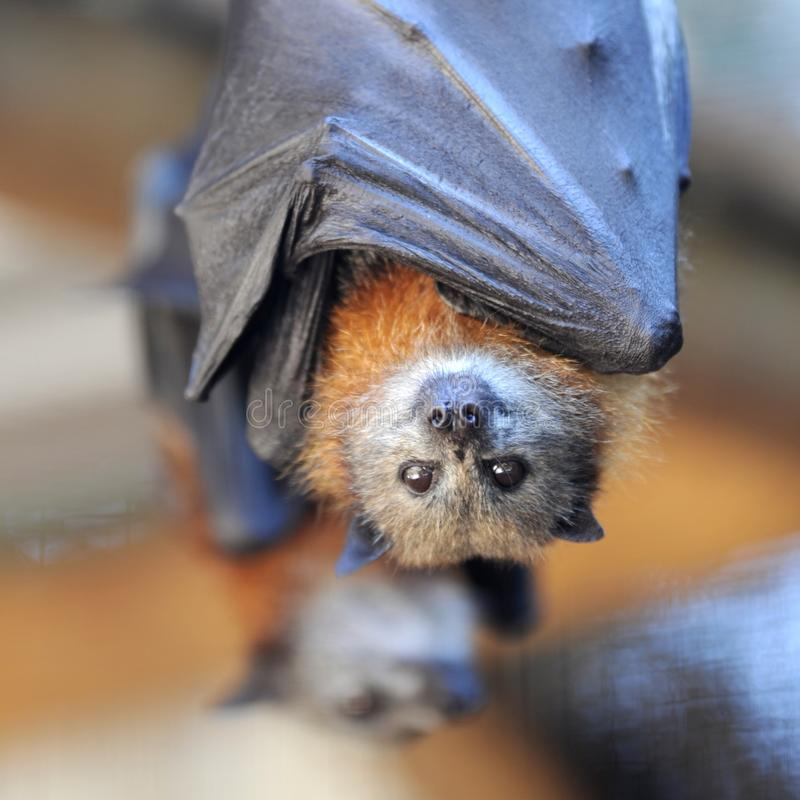 Free Flying Fox Stock Images - 41817854