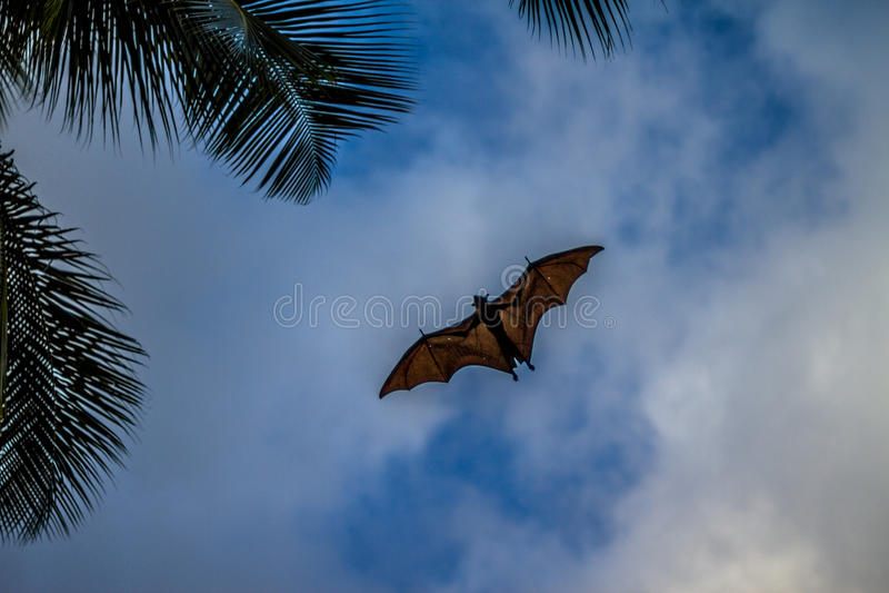 Flying fox on blue sky stock photography