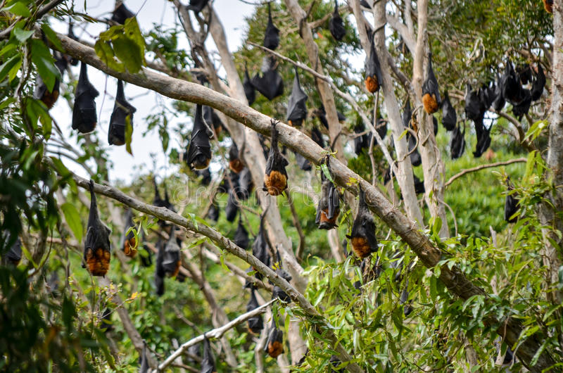 Flying fox hangout stock images