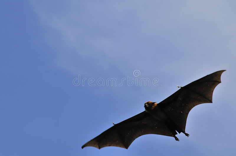 Flying Foxes In Thailand Royalty Free Stock Images