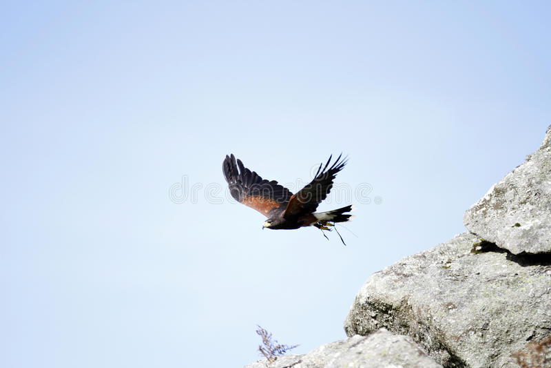 Flying Free. Harris Hawk flying for fun on Dartmoor royalty free stock photo