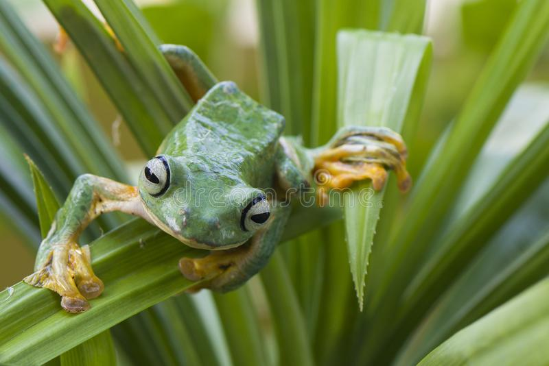 Flying Frog. In action royalty free stock photo