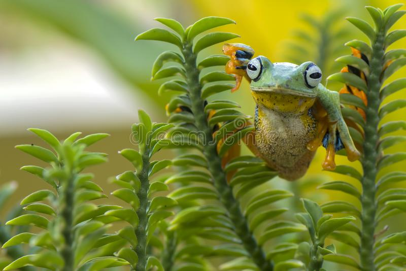 Flying Frog. In action stock photo