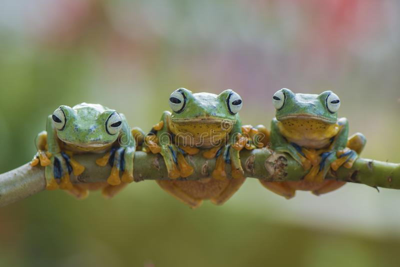 Three Flying Frog. Flying frog in action stock image