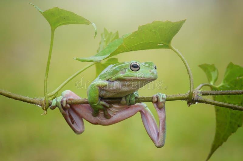 Flying frog. Enjoy the light stock photography