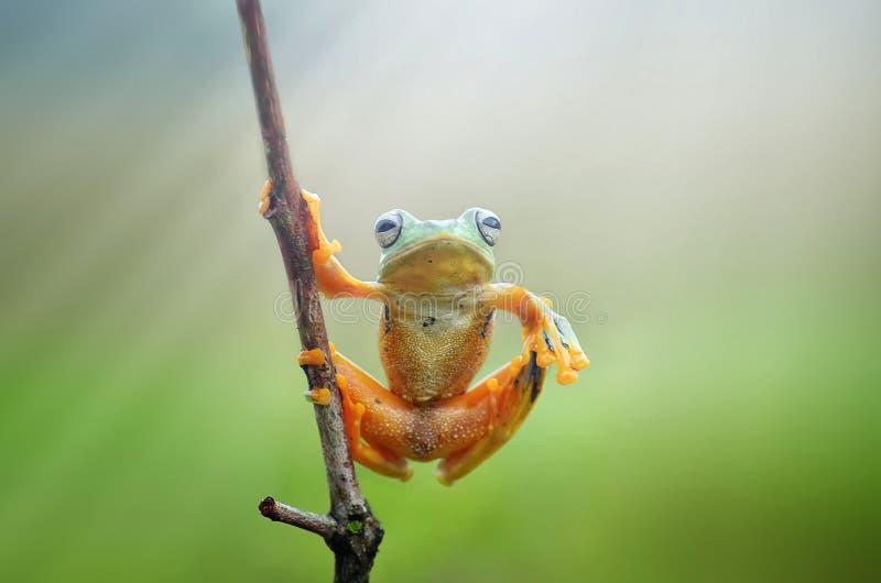 Flying frog. Enjoyed the light royalty free stock photo