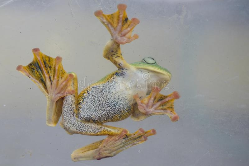 Flying frog. In action royalty free stock images