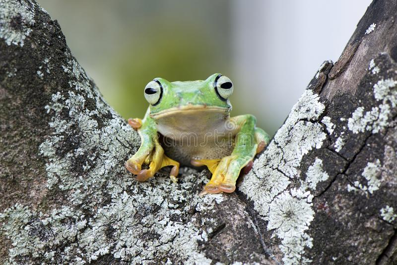 Flying frog. Cute face royalty free stock photo