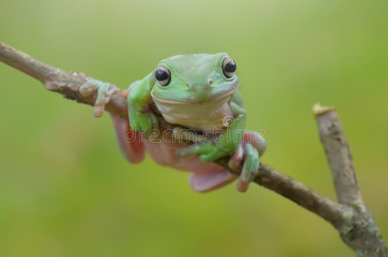 Flying frog. Tired stock photo