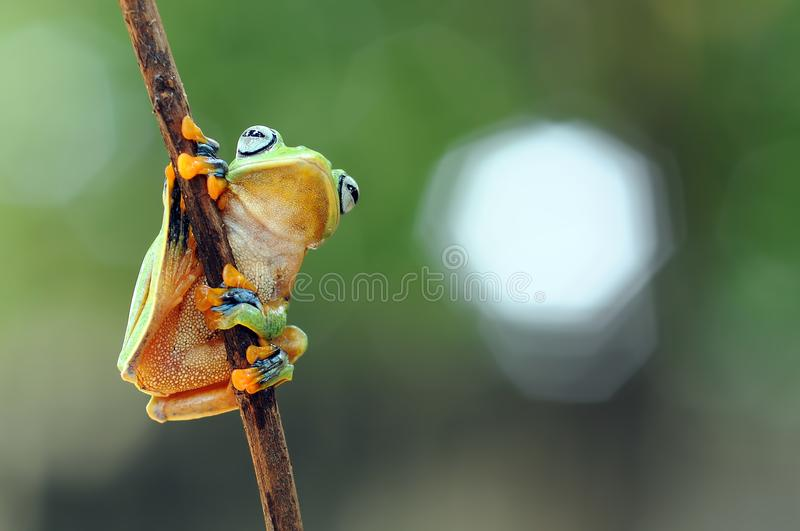 Flying frog, frogs, tree frog, royalty free stock photos