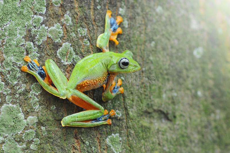 Flying frog, frogs, tree frog, stock photography