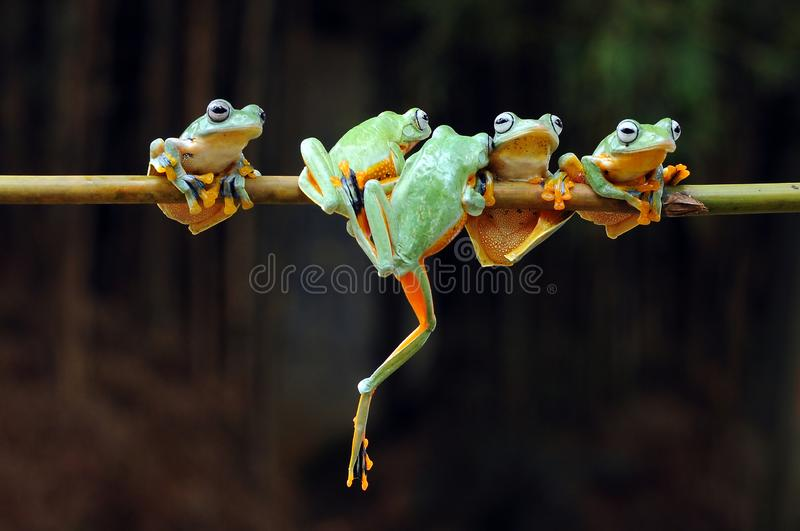Flying frog, frogs, tree frog, amphibians, animals, macro, macro photography, animal photography, animals photos,. Flying frog, frogs, tree frog, amphibians royalty free stock photo