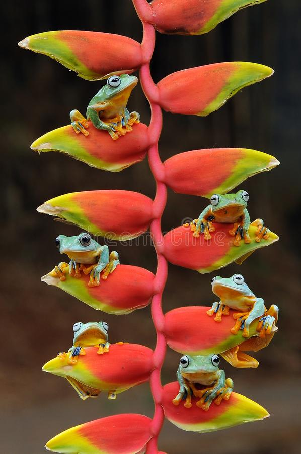 Flying frog, frogs, tree frog, amphibians, animals, macro, macro photography, animal photography, animals photos, Rhacophorus nigr. Opalmatus royalty free stock images
