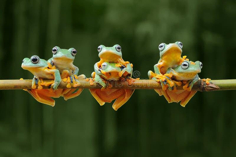 Flying frog, frogs, tree frog, amphibians, animals, macro, macro photography, animal photography, animals photos,. Rhacophorus nigropalmatus royalty free stock photos