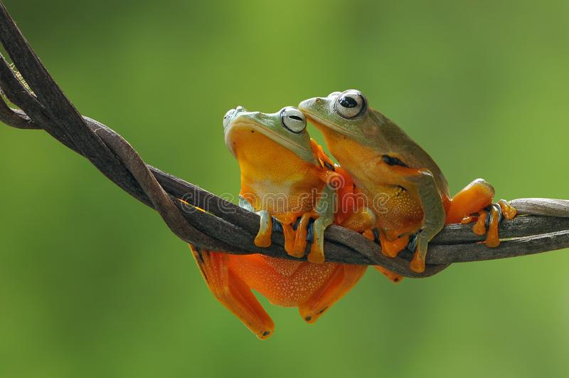 Flying frog, frogs, tree frog,. Wallace flying frog royalty free stock photos
