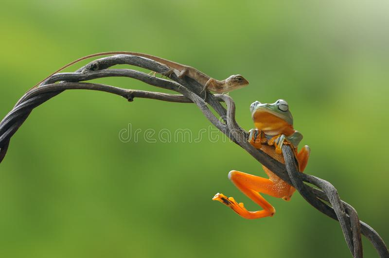 Flying frog, frogs, tree frog,. Wallace flying frog royalty free stock image
