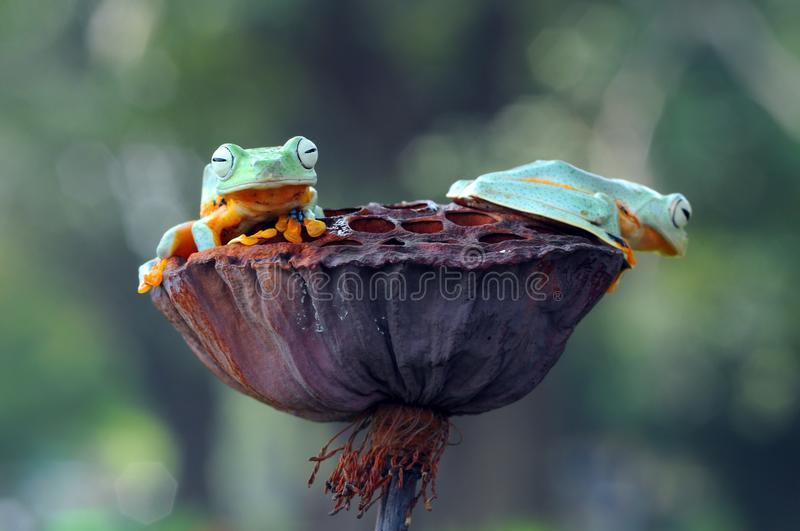 Flying frog, frogs, tree frog,. Wallace flying frog stock photography