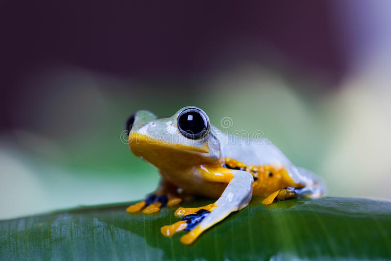 Flying Frog in the jungle on colorful background.  stock photo
