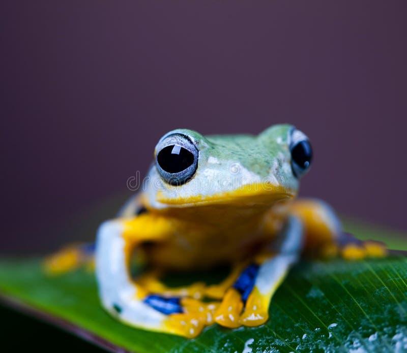 Flying Frog, Rhacophorus reinwardtii on colorful background.  royalty free stock image