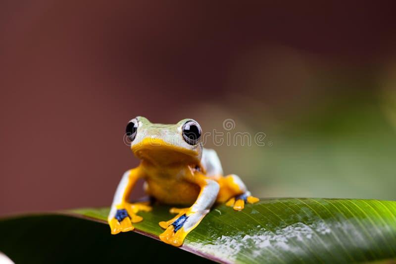 Flying Frog, Rhacophorus reinwardtii on colorful background.  royalty free stock photography