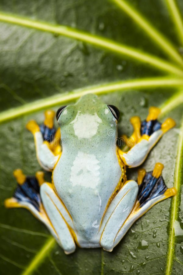 Flying Frog, Rhacophorus reinwardtii. Flying Frog in the jungle on colorful background stock photos