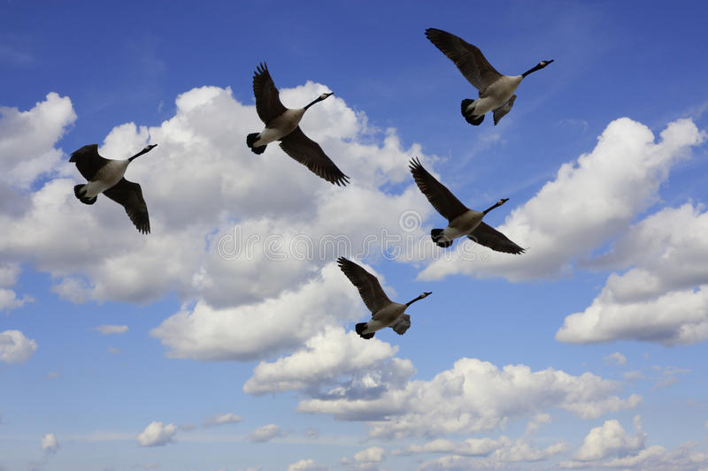 Flying Geese. Flock of Canada Geese in V formation during migration, in silhouette against a cloudy sky