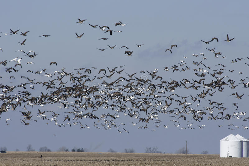 Download Flying Geese stock image. Image of geese, feeding, large - 14752883