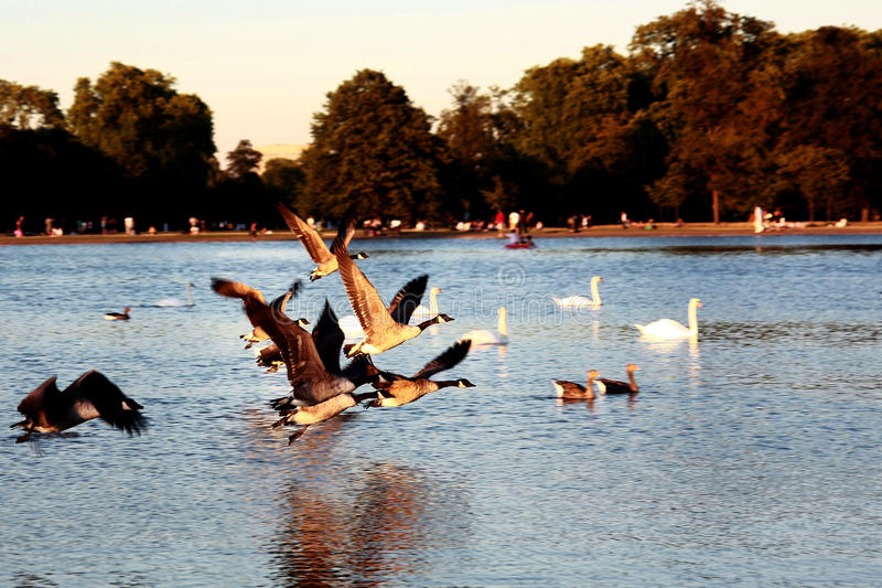 Flying Geese royalty free stock photography