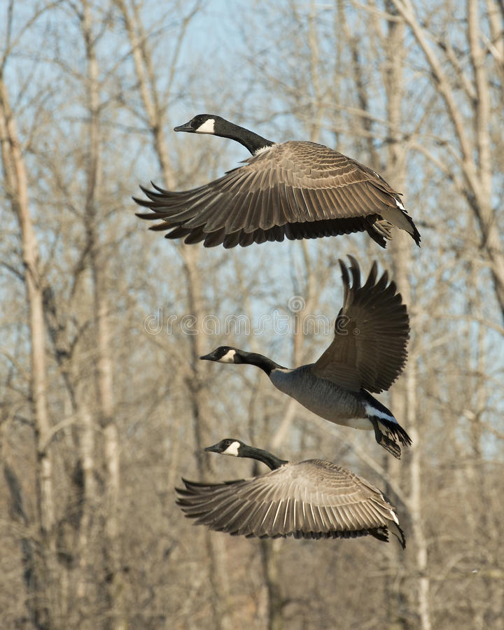 Free Flying Geese Stock Image - 37920581