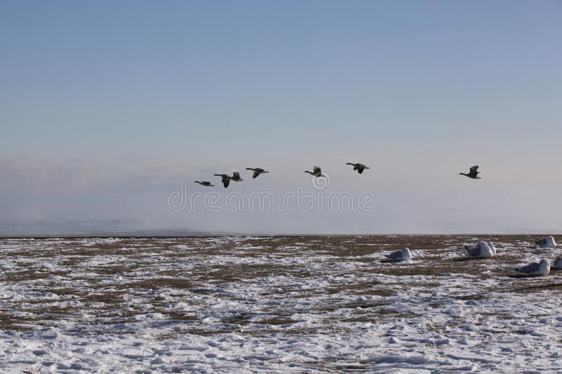 Flying Geese and Sitting Seagulls on a Wintry Chicago Day at the stock images
