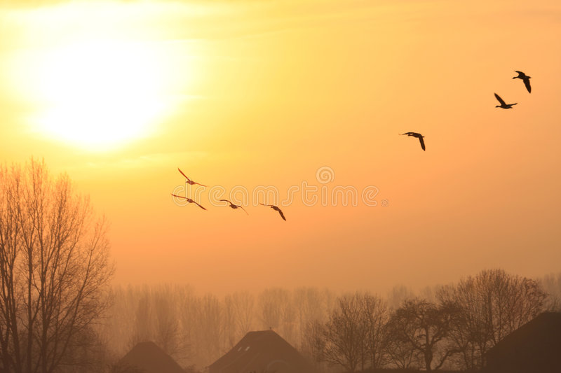 Flying geese during sunset royalty free stock image