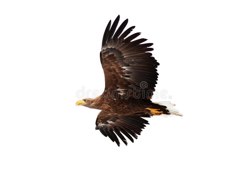 Flying golden eagle. On white background royalty free stock images