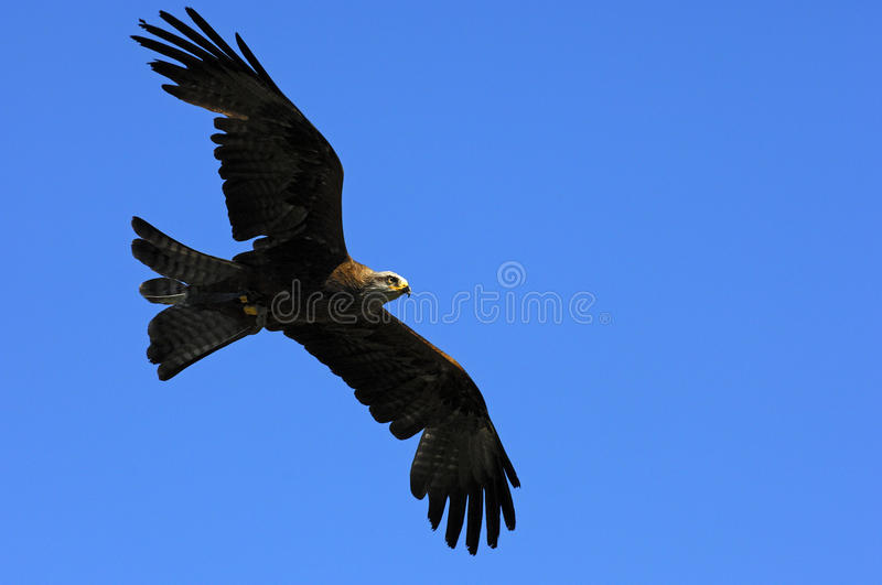 Flying Golden Eagle. (Aquila chrysaetos) with spread wings royalty free stock photography