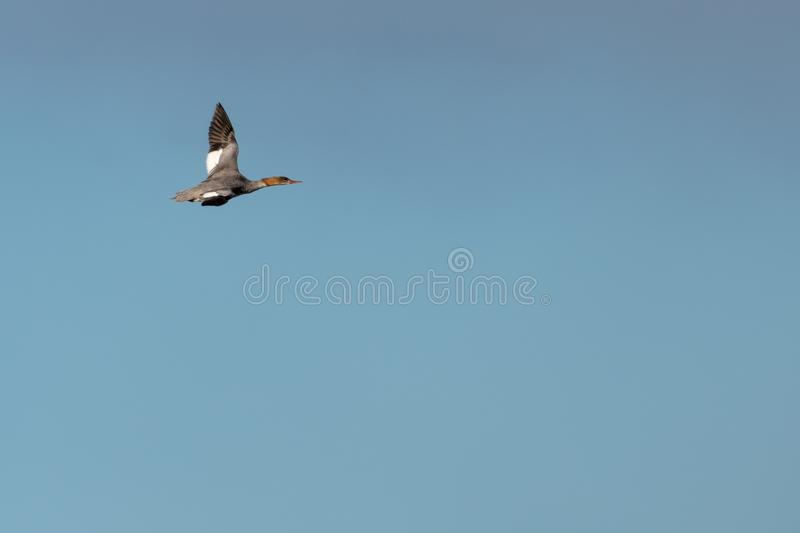 Flying Goosander duck against blue skies royalty free stock photo