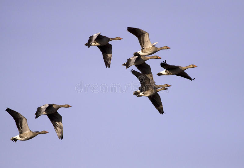 Flying goose. On the sky royalty free stock photography