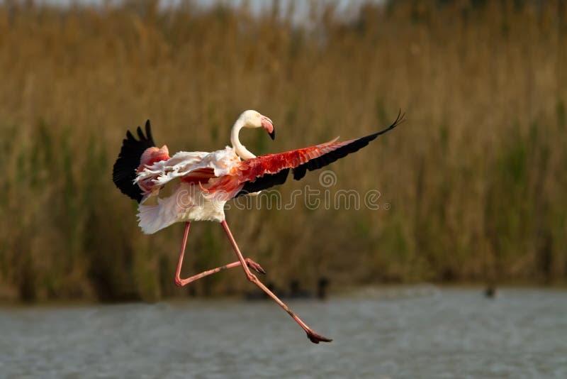 Aninimal Book: Flying Greater Flamingo stock photo. Image of beautiful ...