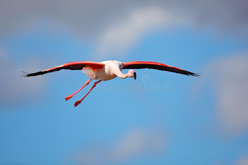 Flying Greater Flamingo, Phoenicopterus ruber, pink big bird with clear blue sky, Camargue, France. Flamingo in fly. Pink bird on stock images