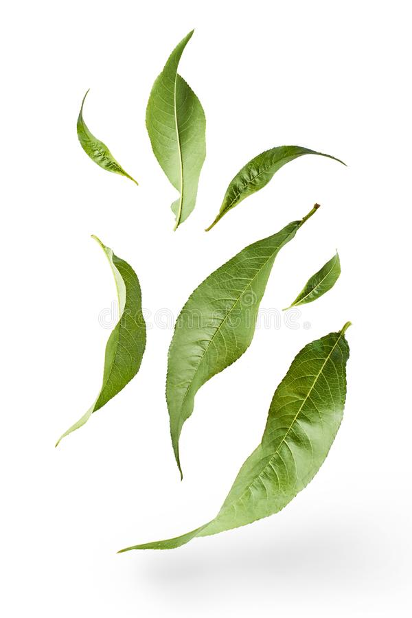 Flying green tea leaves isolated. On white background. Food levitation concept, high resolution royalty free stock image