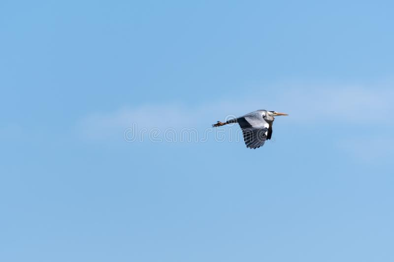 Flying Grey Heron by a blue sky stock photos