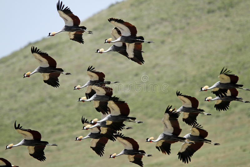 Flying Grey Southern Crowned Cranes royalty free stock photography
