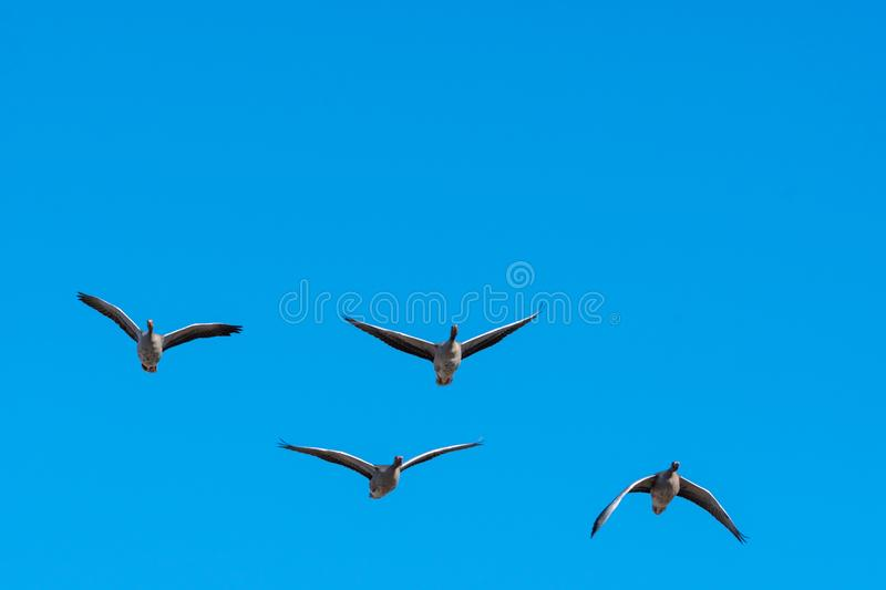Flying Greylag Geese by a clear blue sky royalty free stock photo