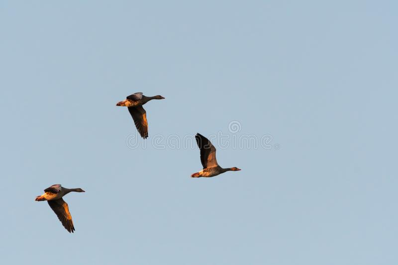 Flying Greylag geese royalty free stock image